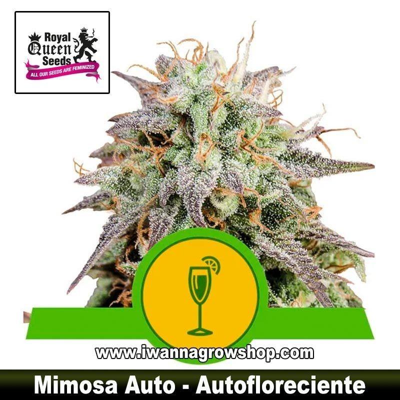 Mimosa Auto