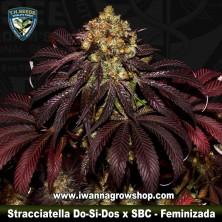 Stracciatella Do-Si-Dos x SBC