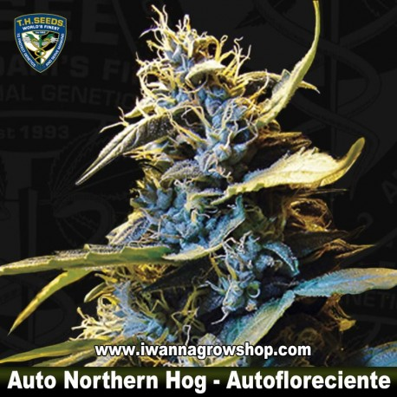Auto Northern Hog