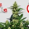 15 Errores típicos al cultivar marihuana