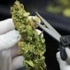 Cómo cortar la marihuana. Manicurado de las plantas