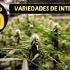 Mejores plantas de marihuana para interior
