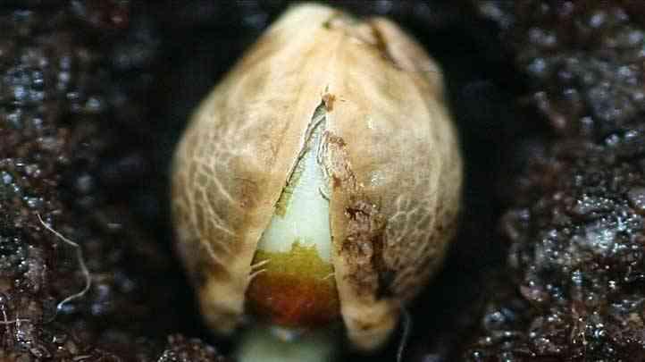 como germinar semillas de marihuana factores