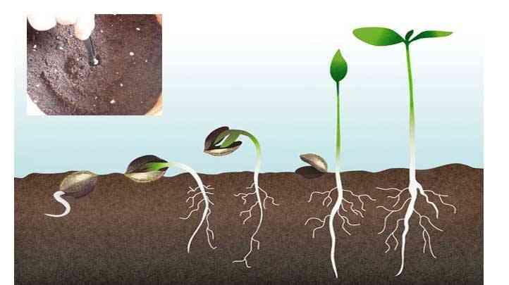 como germinar semillas de cannabis en tierra