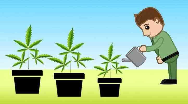 Como regar la marihuana