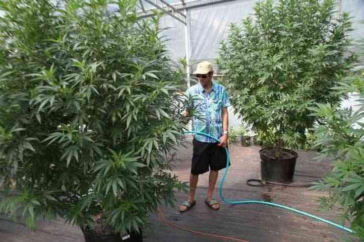 Hombre regando marihuana