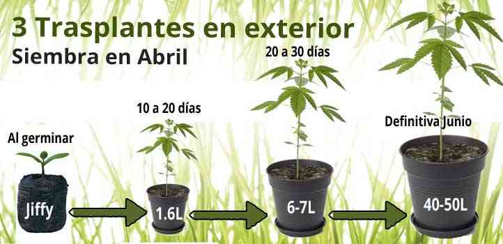 los trasplantes en la marihuana paso a paso