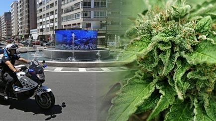 700 plantas de marihuana en una rotonda.