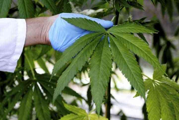 700 plantas de marihuana en un rotonda