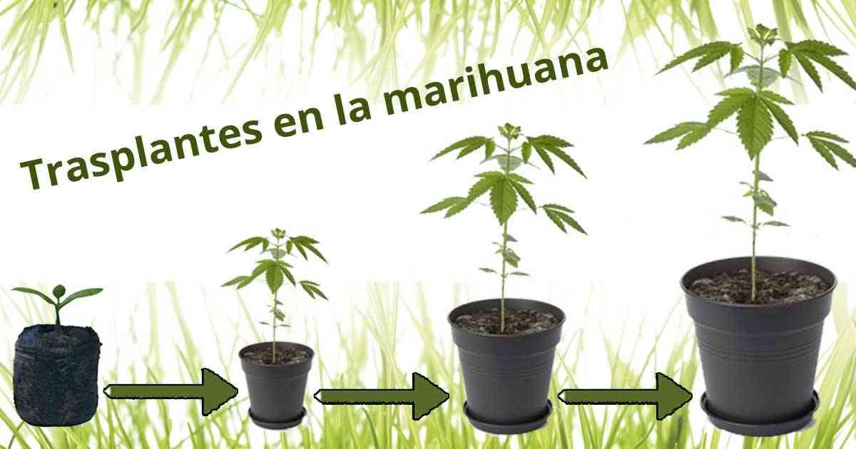 Los trasplantes en la marihuana paso a paso - Como plantar marihuana en casa paso a paso ...