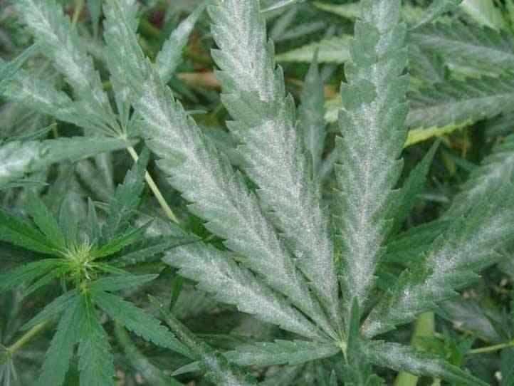 Como combatir el oidio en la marihuana