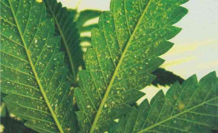 El envés de una hoja de marihuana con mosca blanca