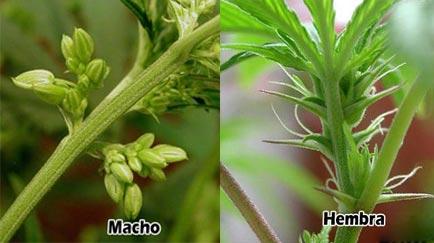 Cómo distinguir una planta de marihuana macho de una hembra