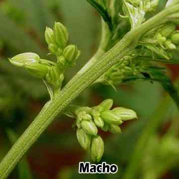 Planta de marihuana macho