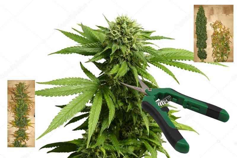 cuando manicurar la marihuana