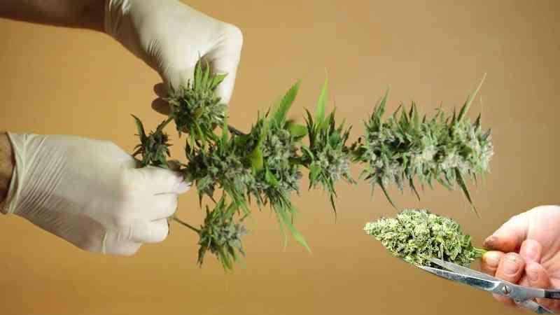 manicurado de la marihuana en humedo