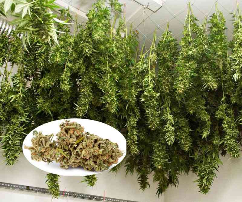manicurado de la marihuana en seco