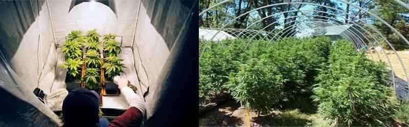 diferencia entre un cultivo de interior de cannabis y uno exterior