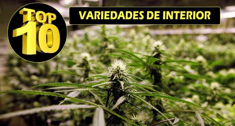 Mejores plantas de marihuana para interior i wanna grow for Plantas marihuana interior