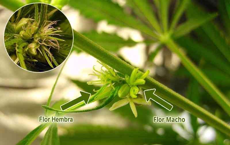 planta hermafrodita de marihuana