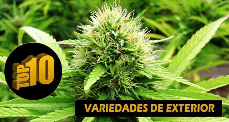 mejores plantas de marihuana para exterior