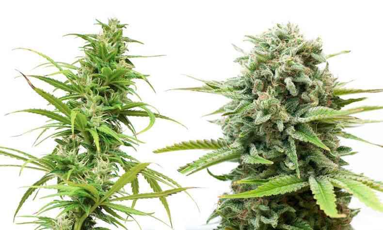 tipos de cannabis sativa indica
