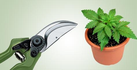 como podar marihuana
