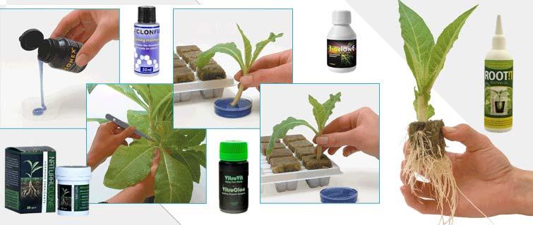 Hormonas de enraizamiento para marihuana