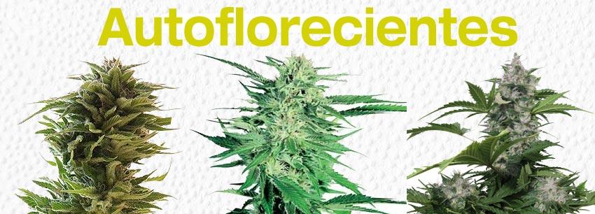 autoflorecientes