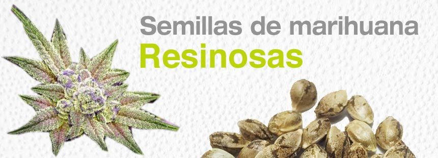 cannabis resinoso